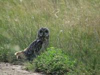 Болотная сова. Фото: Зирнит Денис