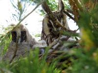 Ушастая сова с птенцами. Автор: Зирнит Денис